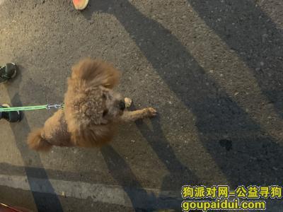 ,捡到小泰迪一只,有认识的吗?,它是一只非常可爱的宠物狗狗,希望它早日回家,不要变成流浪狗。