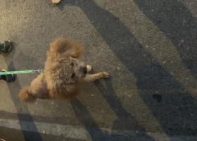 寻狗启示,捡到小泰迪一只,有认识的吗?,它是一只非常可爱的宠物狗狗,希望它早日回家,不要变成流浪狗。