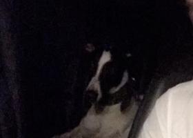 寻狗启示,高架捡到细犬一只,看到两只,但是只捡到一只!凌晨高架上车很多!,它是一只非常可爱的宠物狗狗,希望它早日回家,不要变成流浪狗。