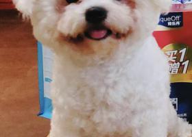 寻狗启示,厦门市集美区五月花求助走丢比熊小公狗,它是一只非常可爱的宠物狗狗,希望它早日回家,不要变成流浪狗。