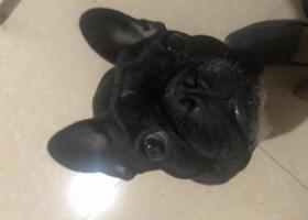 寻狗启示,黑色法斗今晚凌晨在网吧丢失,它是一只非常可爱的宠物狗狗,希望它早日回家,不要变成流浪狗。