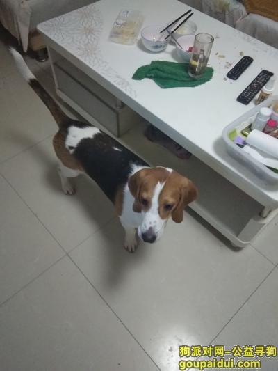 寻狗启示,西斜三路比格犬丢失寻狗启示,它是一只非常可爱的宠物狗狗,希望它早日回家,不要变成流浪狗。