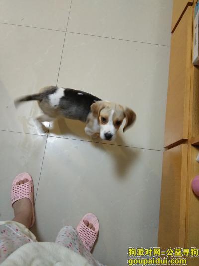 寻狗启示,莲湖区西斜三路比格犬丢失找寻,它是一只非常可爱的宠物狗狗,希望它早日回家,不要变成流浪狗。