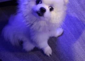 寻狗启示,寻找白色公博美,明发玉荷路斜坡走丢,它是一只非常可爱的宠物狗狗,希望它早日回家,不要变成流浪狗。