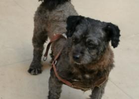 寻狗启示,谁家的狗丢了,黑色的,它是一只非常可爱的宠物狗狗,希望它早日回家,不要变成流浪狗。