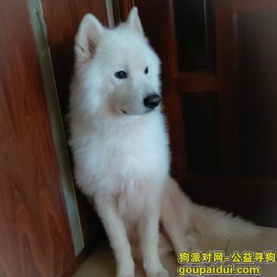 寻狗启示,寻找在肇庆鼎湖花苑走失的白色萨摩耶一只,它是一只非常可爱的宠物狗狗,希望它早日回家,不要变成流浪狗。