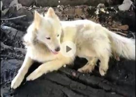 寻狗启示,白色萨摩耶,母性,估计在三十斤左右,暂流浪至番禺德兴桥底(东面),它是一只非常可爱的宠物狗狗,希望它早日回家,不要变成流浪狗。