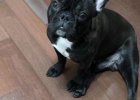 寻狗启示,上海浦东惠南镇寻找黑色法国斗牛犬,它是一只非常可爱的宠物狗狗,希望它早日回家,不要变成流浪狗。