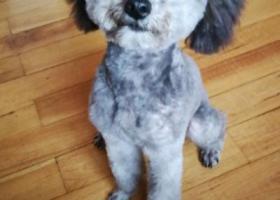 寻狗启示,寻灰色小泰迪狗,受惊吓跑丢。,它是一只非常可爱的宠物狗狗,希望它早日回家,不要变成流浪狗。