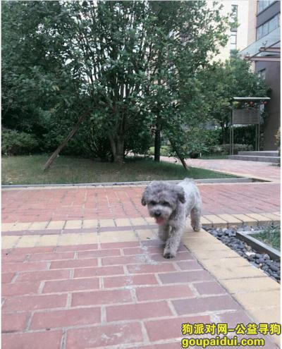 寻狗启示,寻找灰色泰迪 新区枫桥菜场丢失,它是一只非常可爱的宠物狗狗,希望它早日回家,不要变成流浪狗。