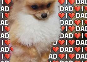 寻狗启示,黄博美 在温州新城球山花园一带走失,它是一只非常可爱的宠物狗狗,希望它早日回家,不要变成流浪狗。