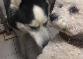 寻狗启示,白色比熊6.18日晚 在济南机床二厂附近的统一银座丢失,它是一只非常可爱的宠物狗狗,希望它早日回家,不要变成流浪狗。