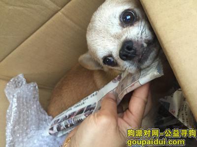 青岛找狗主人,在市北长春路延吉路附近发现一黄色小狗像吉娃娃,它是一只非常可爱的宠物狗狗,希望它早日回家,不要变成流浪狗。