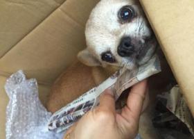 寻狗启示,在市北长春路延吉路附近发现一黄色小狗像吉娃娃,它是一只非常可爱的宠物狗狗,希望它早日回家,不要变成流浪狗。