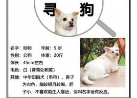 寻狗启示,重金寻狗 :白狗,中华田园犬(串串),,它是一只非常可爱的宠物狗狗,希望它早日回家,不要变成流浪狗。