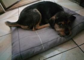 寻狗启示,于哈军工附近丢失一黑色串串,它是一只非常可爱的宠物狗狗,希望它早日回家,不要变成流浪狗。