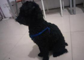 寻狗启示,九堡杭乔路时装街路口附近黑色,它是一只非常可爱的宠物狗狗,希望它早日回家,不要变成流浪狗。