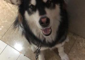 寻狗启示,阿拉斯加犬丢失于蜀山区高刘路聚凤华庭附近。,它是一只非常可爱的宠物狗狗,希望它早日回家,不要变成流浪狗。