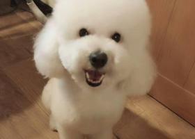 寻狗启示,在分路口丢失白色泰迪,它是一只非常可爱的宠物狗狗,希望它早日回家,不要变成流浪狗。