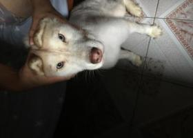 寻狗启示,一只白色的哈士奇在6月20晚上渝中区解放碑七星岗丢了现在很着急,希望看到的好心人联系一下我们15823460706    18580577167,它是一只非常可爱的宠物狗狗,希望它早日回家,不要变成流浪狗。
