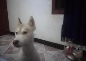 寻狗启示,寻狗,解放碑七星岗6月20丢了,它是一只非常可爱的宠物狗狗,希望它早日回家,不要变成流浪狗。