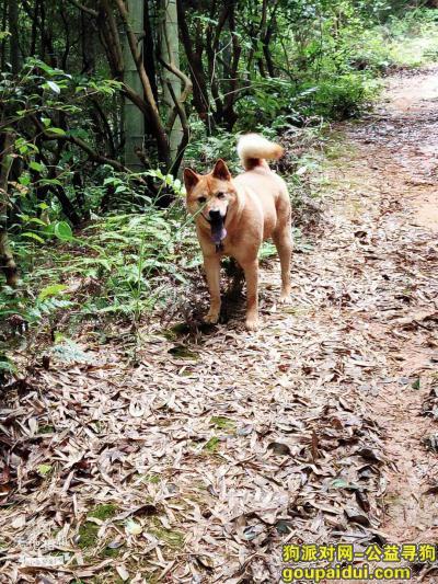,本日10日在北二环桃园公寓附近走丢柴犬一条,它是一只非常可爱的宠物狗狗,希望它早日回家,不要变成流浪狗。