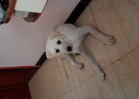 寻狗启示,重庆合川寻狗启示白色拉布拉多,它是一只非常可爱的宠物狗狗,希望它早日回家,不要变成流浪狗。