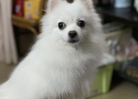 寻狗启示,请留意身边有无这条博美犬:雪糕,它是一只非常可爱的宠物狗狗,希望它早日回家,不要变成流浪狗。