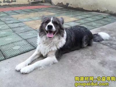 ,沧州市海兴县司法局酬谢三千元寻找边牧,它是一只非常可爱的宠物狗狗,希望它早日回家,不要变成流浪狗。