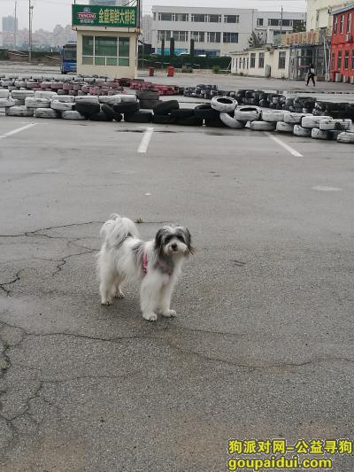 威海找狗,雪纳瑞和西施的串儿,名字叫丸子,它是一只非常可爱的宠物狗狗,希望它早日回家,不要变成流浪狗。