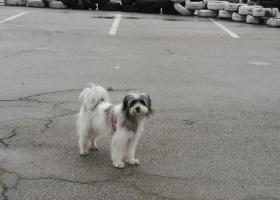 寻狗启示,雪纳瑞和西施的串儿,名字叫丸子,它是一只非常可爱的宠物狗狗,希望它早日回家,不要变成流浪狗。
