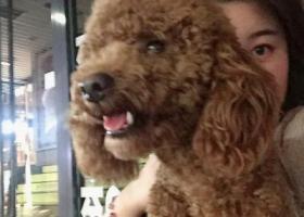 寻狗启示,2019.06.21在北宫街白浪河桥底下丢失公泰迪一只,它是一只非常可爱的宠物狗狗,希望它早日回家,不要变成流浪狗。