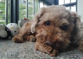 寻狗启示,2019年6月21日东区大鳌溪新村走失棕色泰迪一只,它是一只非常可爱的宠物狗狗,希望它早日回家,不要变成流浪狗。