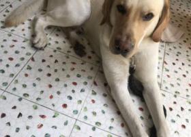 寻狗启示,万元寻狗,拉布拉多,公狗,2岁半,它是一只非常可爱的宠物狗狗,希望它早日回家,不要变成流浪狗。