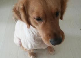 寻狗启示,沈阳开发区中央大街优诗美地6月23日凌晨走失一条金毛(剃毛了),它是一只非常可爱的宠物狗狗,希望它早日回家,不要变成流浪狗。