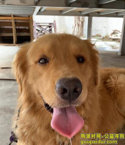 莆田捡到狗,捡到金毛狗狗,寻找主人,它是一只非常可爱的宠物狗狗,希望它早日回家,不要变成流浪狗。