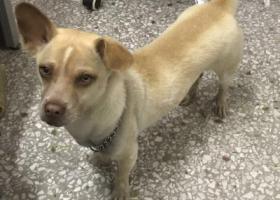 寻狗启示,沙田镇横流百合路附近丢失黄白色中华田园犬一只,它是一只非常可爱的宠物狗狗,希望它早日回家,不要变成流浪狗。
