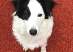 寻狗启示,北蔡镇找单黑眼圈边牧,它是一只非常可爱的宠物狗狗,希望它早日回家,不要变成流浪狗。