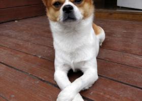 寻狗启示,找狗!在东莞常平华美乐附近丢失的!,它是一只非常可爱的宠物狗狗,希望它早日回家,不要变成流浪狗。