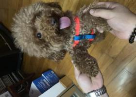 寻狗启示,6.17号捡到一只棕色泰迪,2岁,它是一只非常可爱的宠物狗狗,希望它早日回家,不要变成流浪狗。
