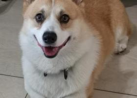 寻狗启示,本人一柯基犬走丢望爱心人士提供帮助,它是一只非常可爱的宠物狗狗,希望它早日回家,不要变成流浪狗。