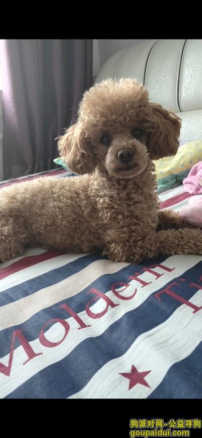 大庆寻狗启示,寻狗启示,泰迪母狗嘎逗,它是一只非常可爱的宠物狗狗,希望它早日回家,不要变成流浪狗。