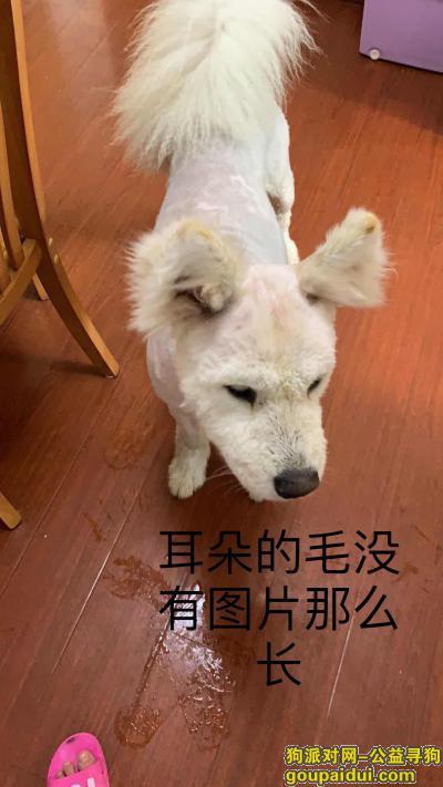 镇江寻狗,5000元寻找丢失的萨摩耶,它是一只非常可爱的宠物狗狗,希望它早日回家,不要变成流浪狗。