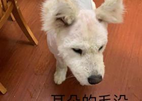 寻狗启示,5000元寻找丢失的萨摩耶,它是一只非常可爱的宠物狗狗,希望它早日回家,不要变成流浪狗。