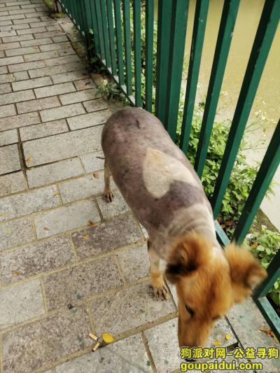 ,一只应该怀孕的大背上有个心形的金毛,它是一只非常可爱的宠物狗狗,希望它早日回家,不要变成流浪狗。