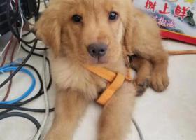 金毛,三个月大,名叫耀耀
