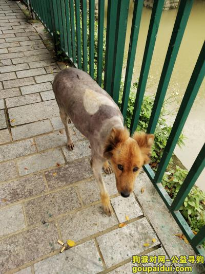 ,寻找一只怀孕了的金毛犬主人,它是一只非常可爱的宠物狗狗,希望它早日回家,不要变成流浪狗。