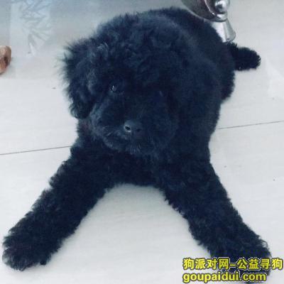 秦皇岛寻狗网,寻狗启示,黑色泰迪,500元答谢好心人,它是一只非常可爱的宠物狗狗,希望它早日回家,不要变成流浪狗。