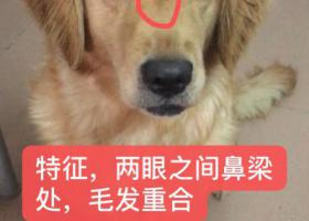 寻狗启示,深圳寻狗,金毛,性别母,黄色,它是一只非常可爱的宠物狗狗,希望它早日回家,不要变成流浪狗。