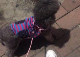 寻狗启示,有哪位好心人看到我家狗狗,它是一只非常可爱的宠物狗狗,希望它早日回家,不要变成流浪狗。
